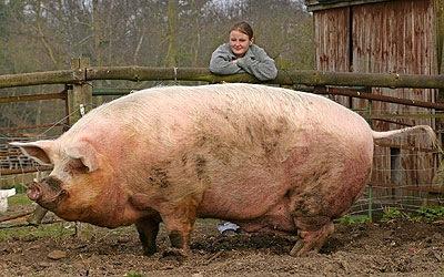 wiki Big Ole Fat Pig
