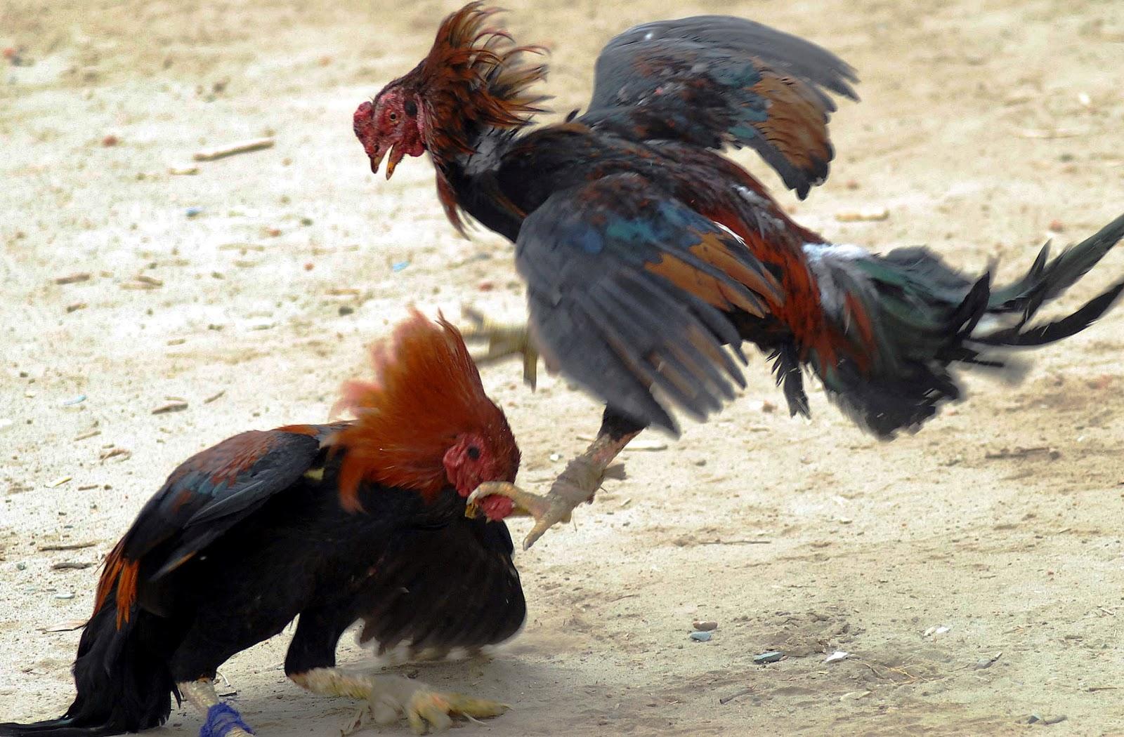 Ramon monstruos de fotos de gallos